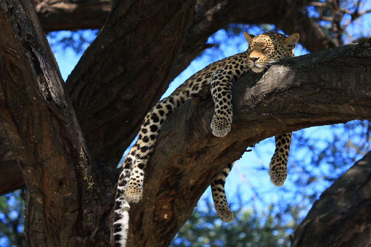 A female leopard basks in the afternoon sun in Mombo, Botswana.