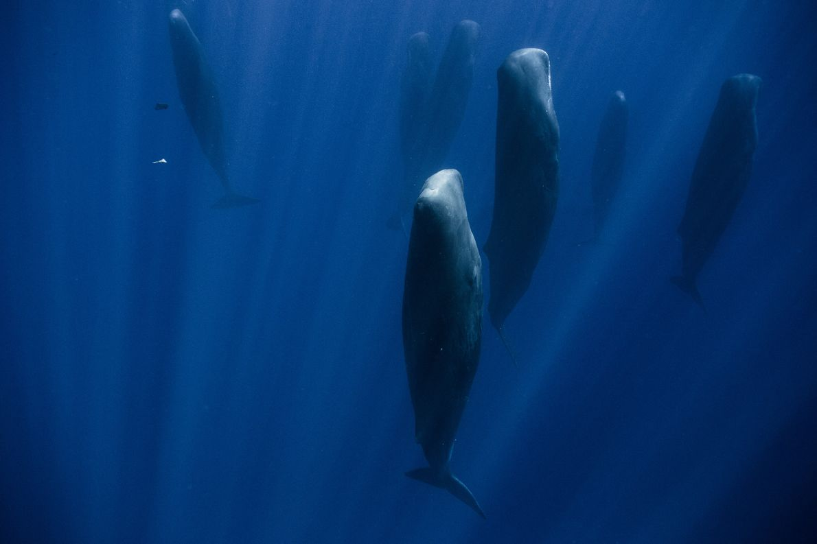 In the Indian Ocean, a group of more than 30 adult sperm whales are sleeping at …