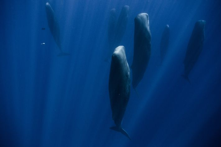 In the Indian Ocean, a group of more than 30 adult sperm whales are sleeping at ...