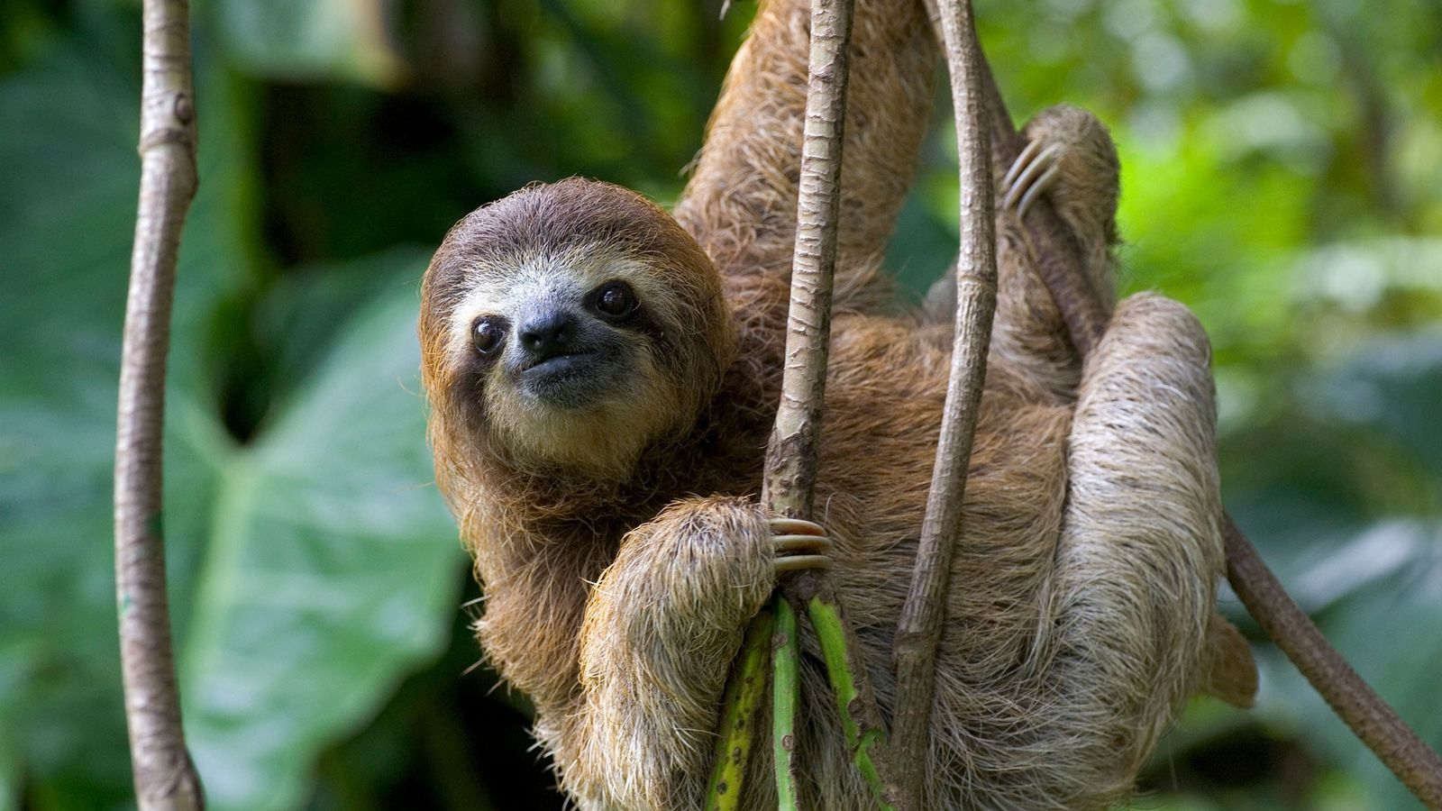 Scientists have discovered that three-fingered sloths, like the one shown here in Costa Rica, have quirky ...