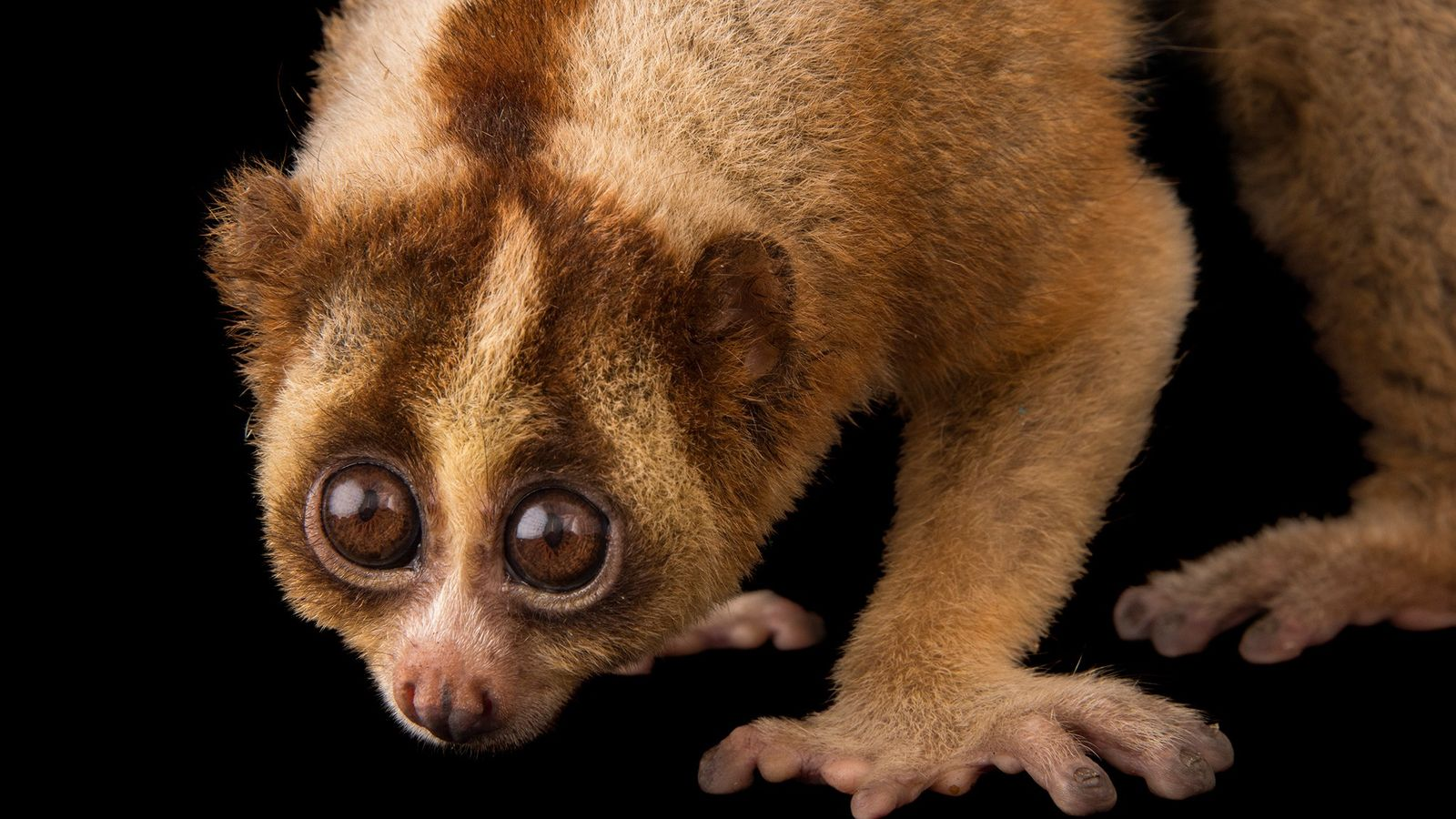 The Javan slow loris's face markings draw attention to its most dangerous part—the mouth.