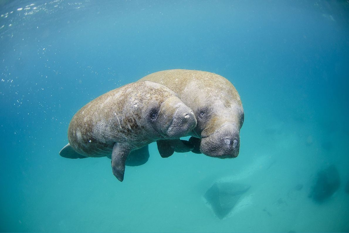 Manatees swimming off West Palm Beach, Florida.
