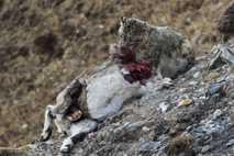 Snow leopard feeding