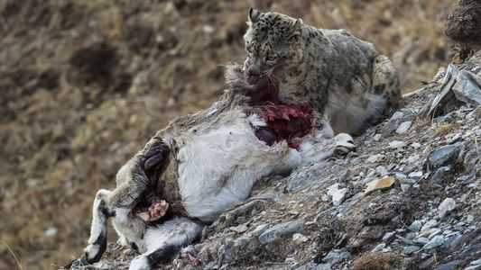 Rare Snow Leopard Kills Sheep in First-Ever Photographs