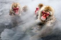 Japanese macaques, also called snow monkeys, soak in a hot spring in Jigokudani, Japan.
