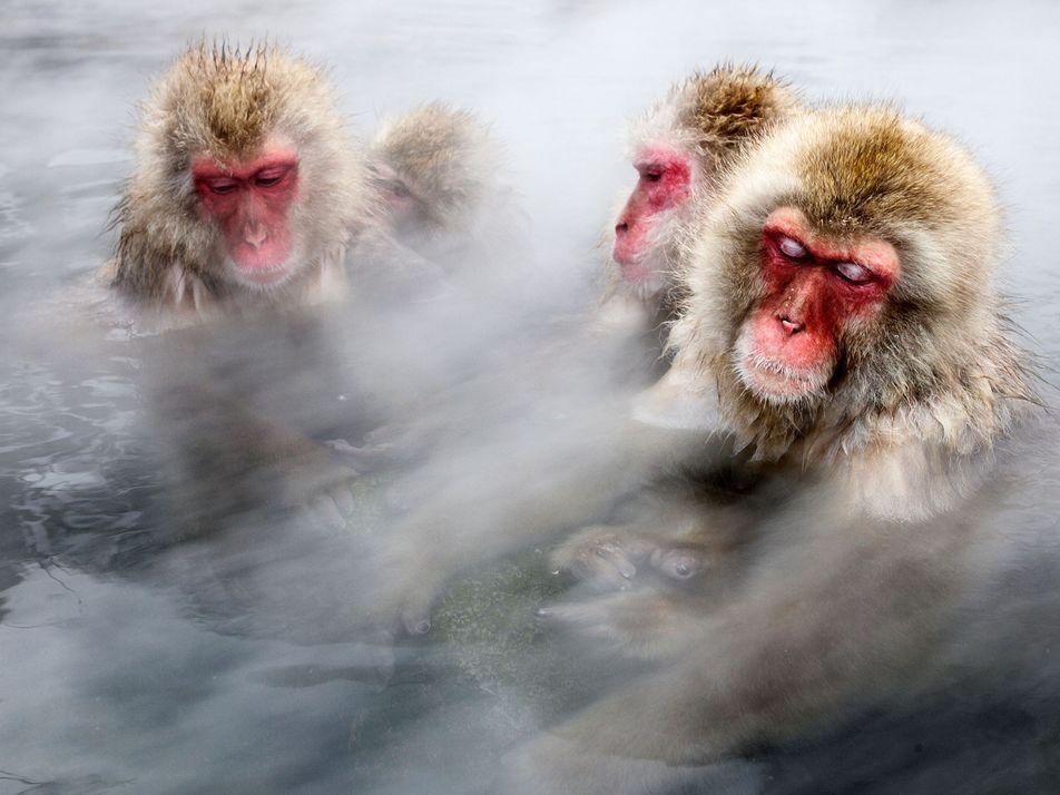 Famous Japanese Snow Monkeys Take Baths to Lower Stress