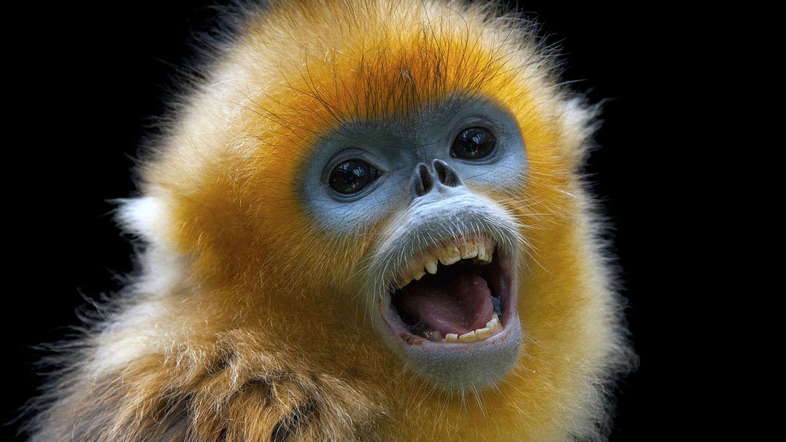 The luxurious pelt and distinctive face of the golden snub-nosed monkey grabbed the attention of ancient ...