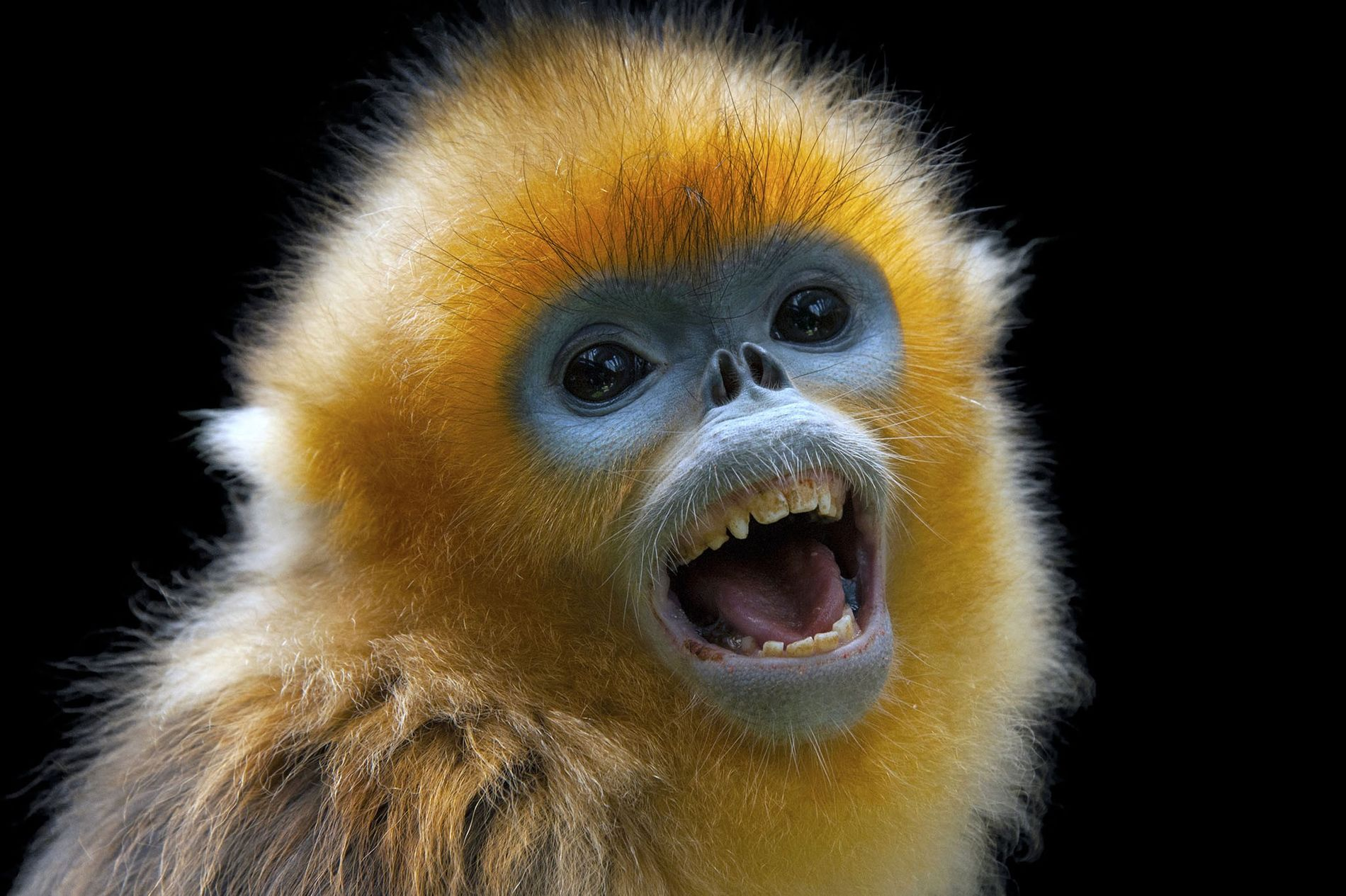 The luxurious pelt and distinctive face of the golden snub-nosed monkey grabbed the attention of ancient Chinese chroniclers.