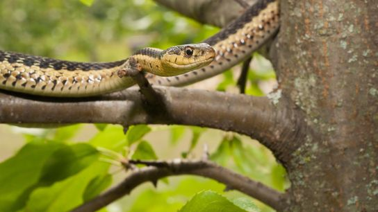 The eastern garter snake, Thamnophis sirtalis sirtalis, is native to eastern North America.
