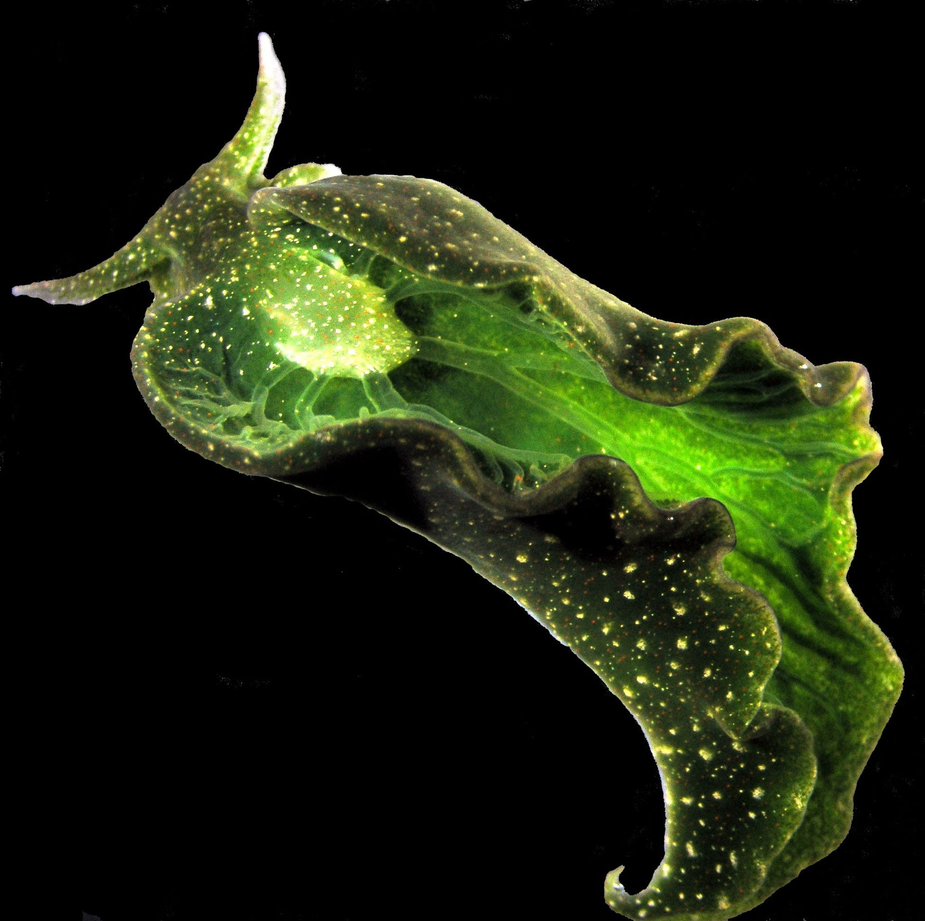 Elysia cholorotica, a sea slug found off the U.S. East Coast, can steal photosynthetic plastids from ...
