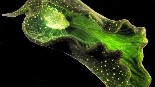 Solar-Powered Slugs Hide Wild Secrets—But They're Vanishing