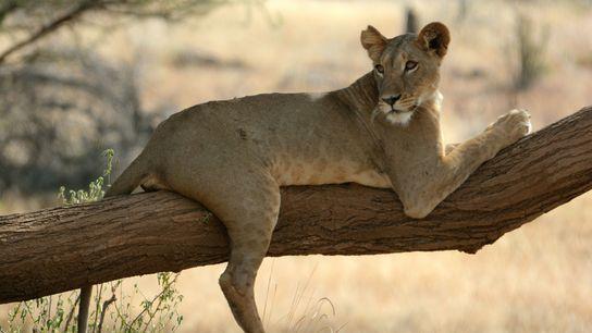 A lioness named Nadala lays on a tree in Kenya's Samburu National Reserve, where lions live ...