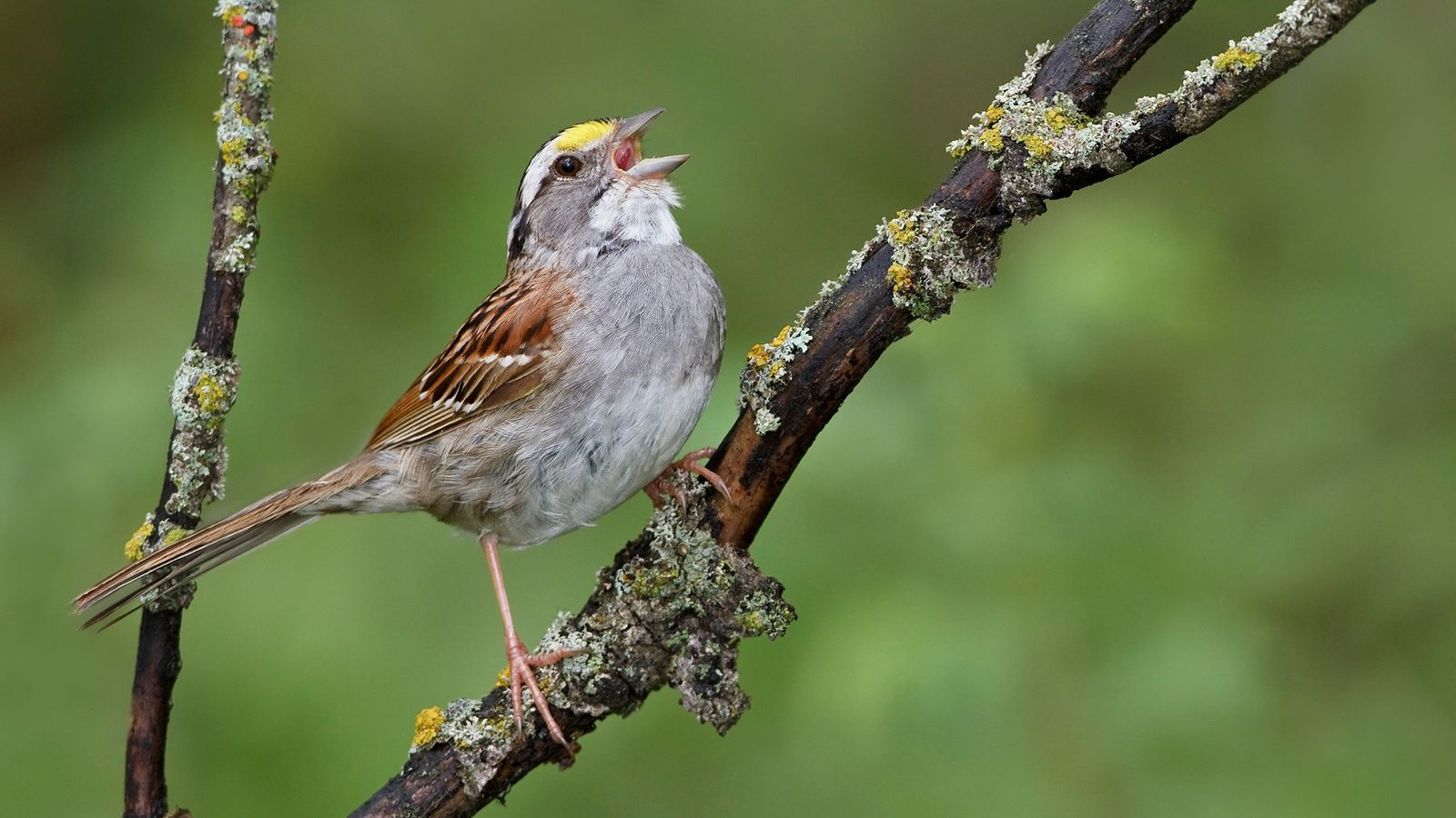 A white-throated Sparrow (Zonotrichia albicollis) singing in Manitoba, Canada, where a new distinctive call has replaced ...