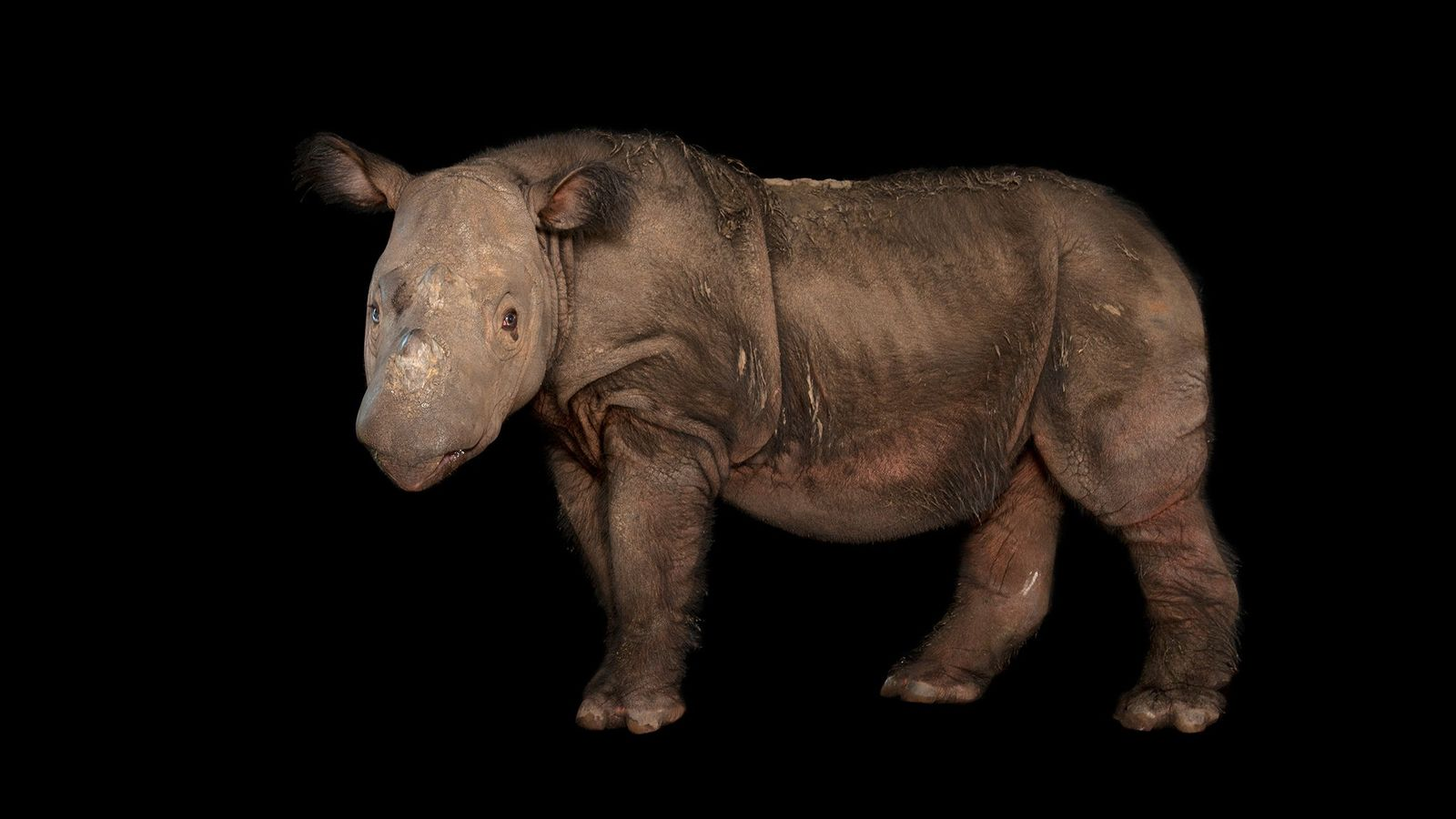 A male rhino named Harapan poses at the White Oak Conservation Center in Florida, where he ...