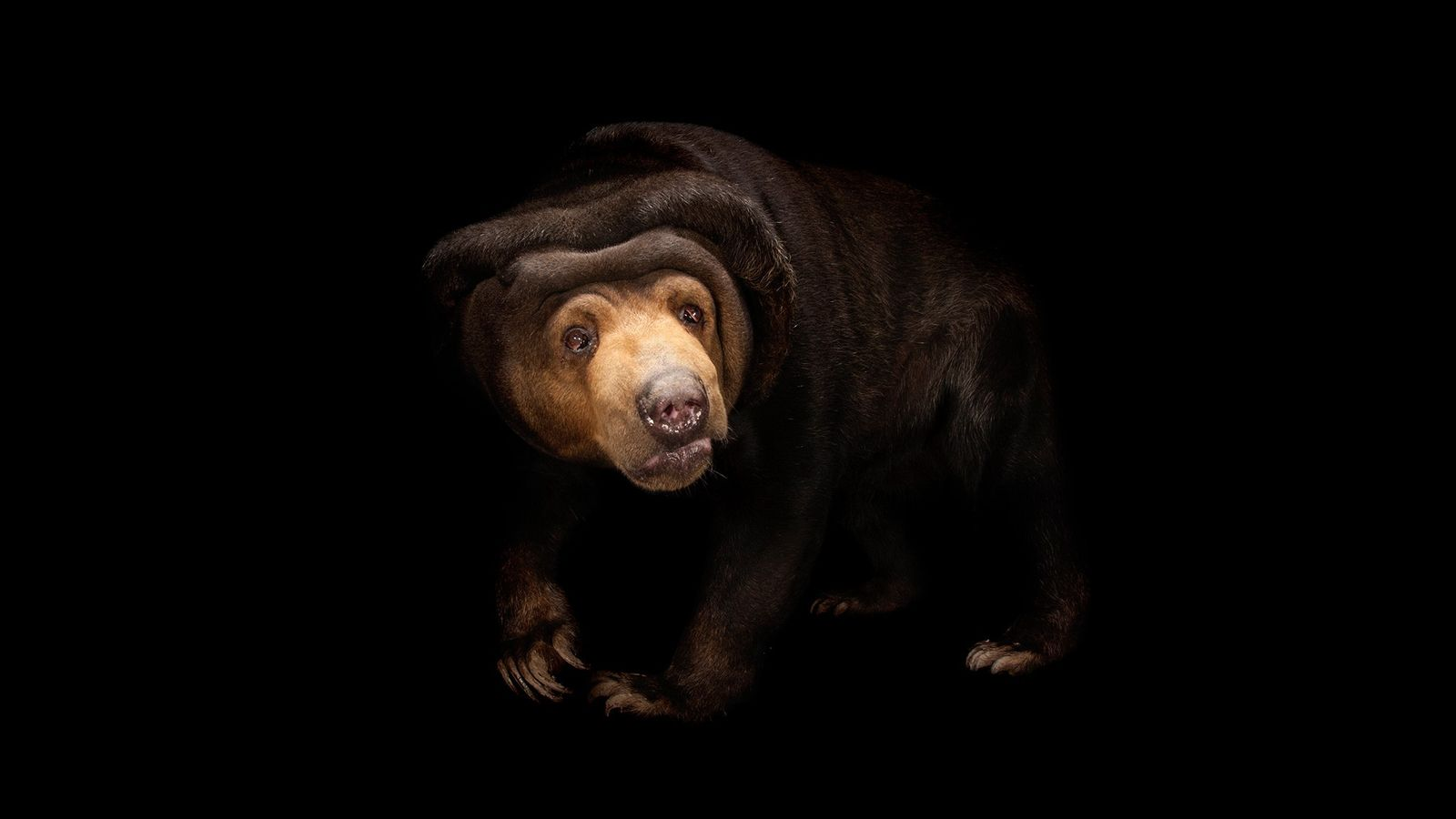 Sun bears are masterful copycats of other sun bears' expressions, with facial mimicry skills once thought ...