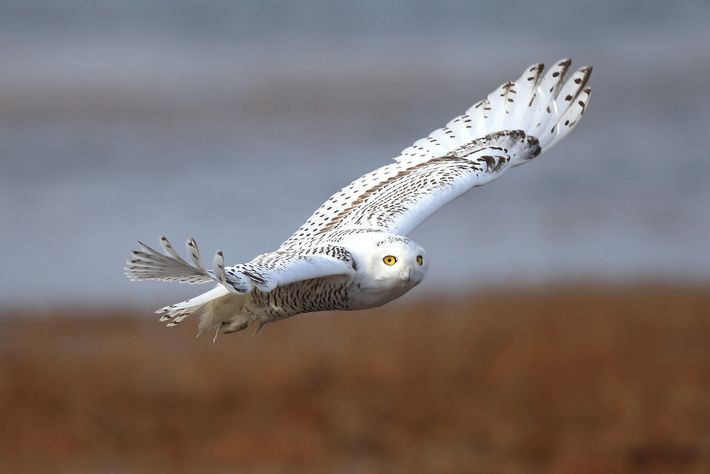 A snowy owl flies over Maine. The cold-dwelling species breed on the Arctic tundra.
