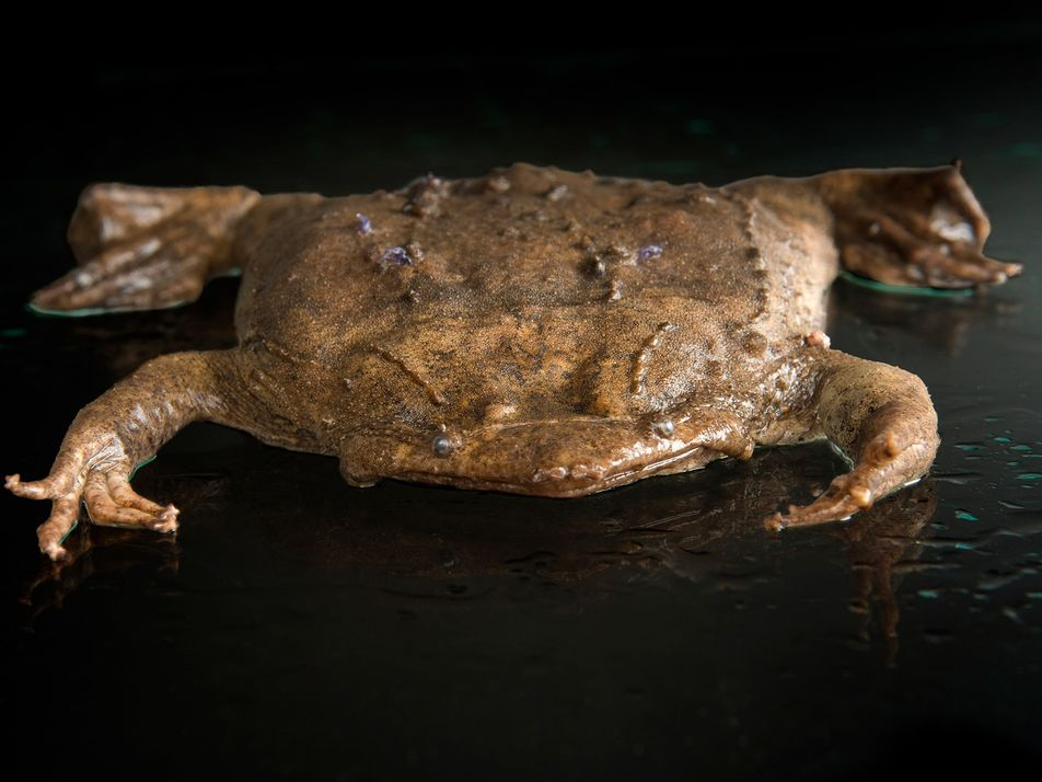 This frog's babies erupt out of its back—and other surprising ways animals give birth