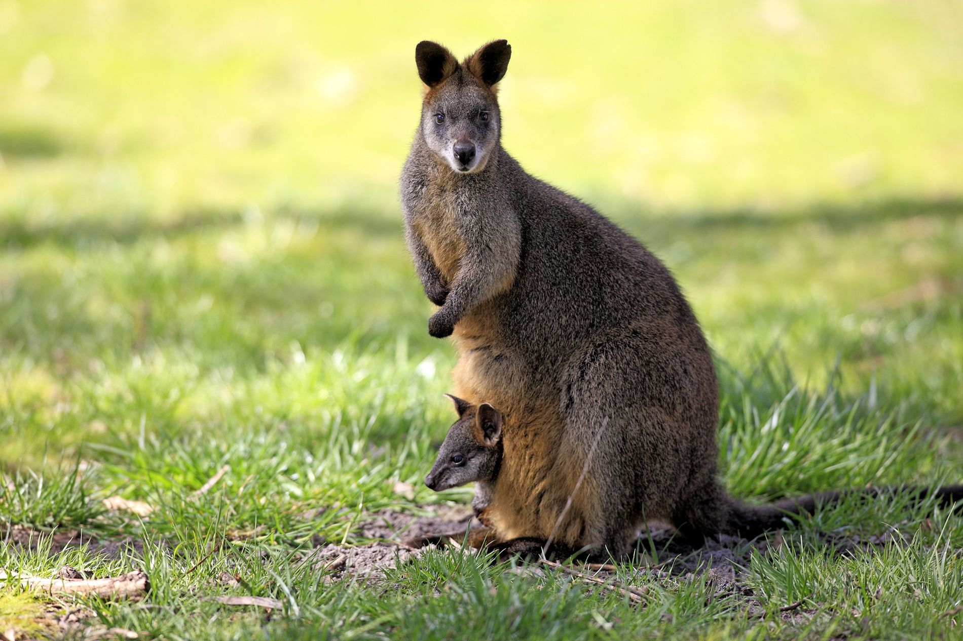 Female swamp wallabies able to get pregnant again two days before giving birth.