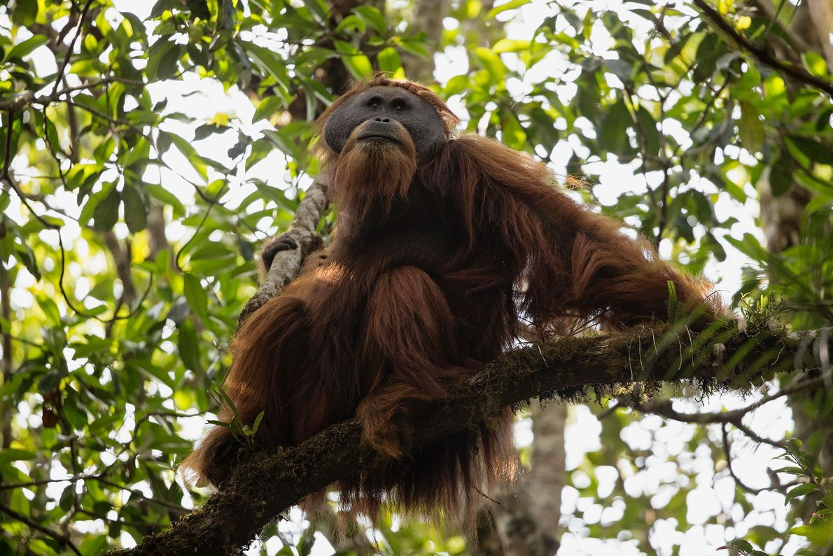 An adult male Tapanuli orangutan in the Batang Toru Forest.