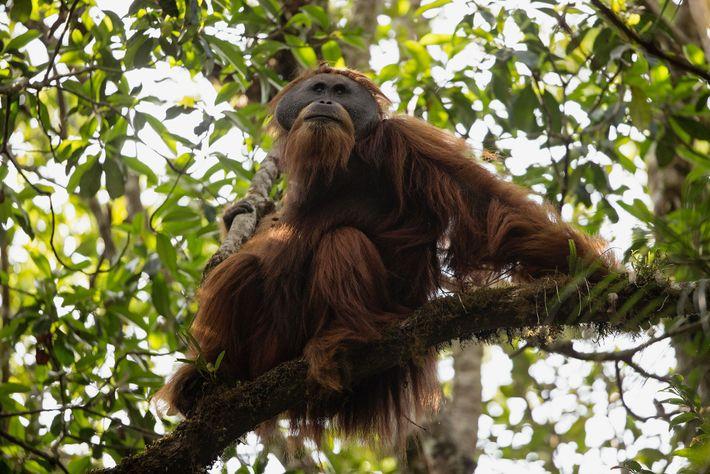 An adult male Tapanuli orangutan in the Batang Toru Forest.