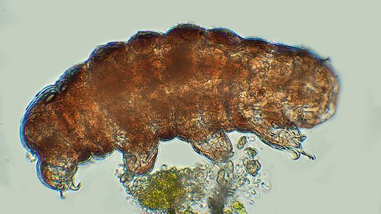 A magnified view of a tardigrade, also known as a water bear.