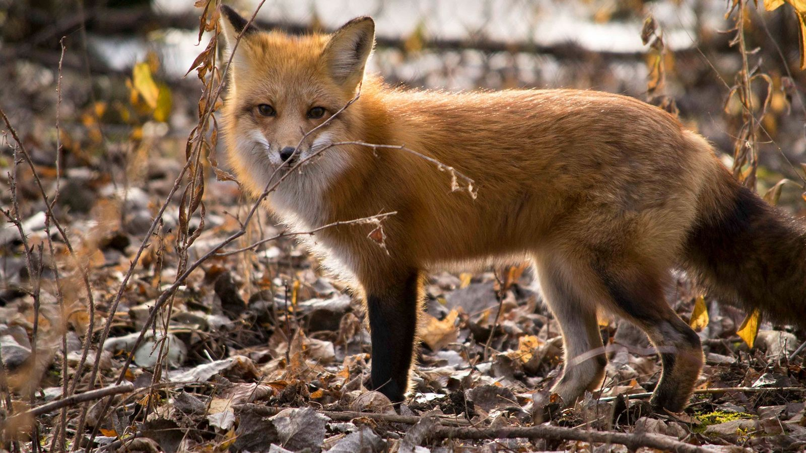 Foxes and other animals with fluffy tails can use their tails to help them balance if ...