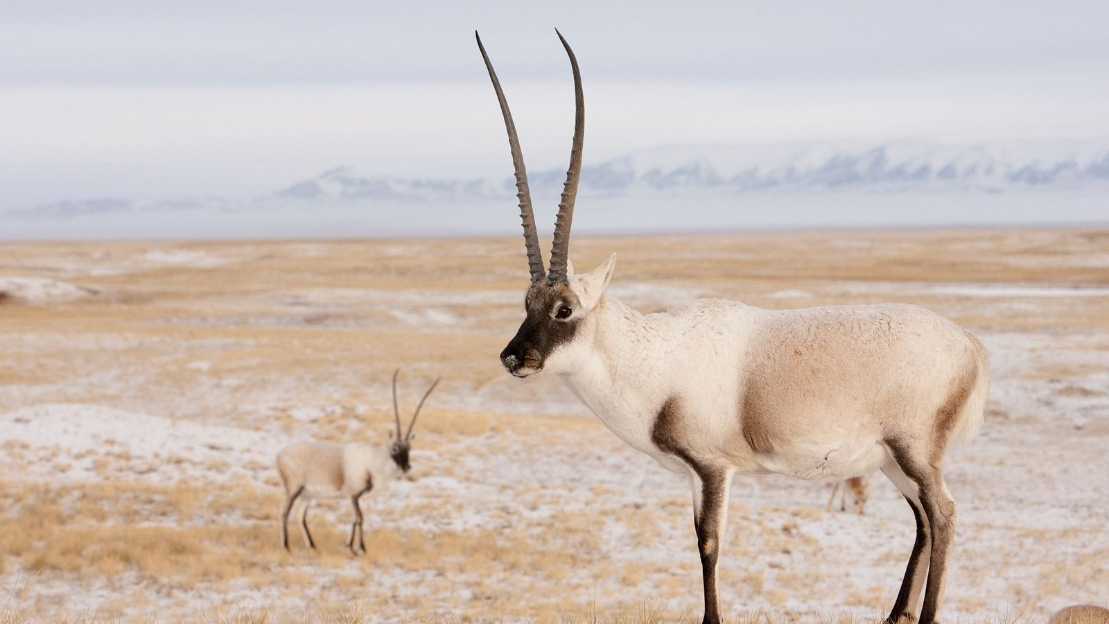 Tibetan antelope are poached to make luxury wraps, called shahtooshes, from their soft, warm underfur. Four ...