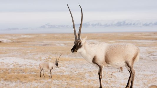 A rare antelope is being killed to make £15,000 scarves