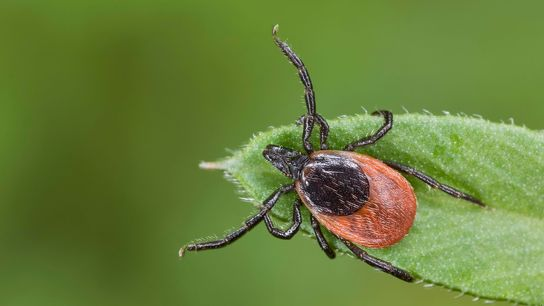 Native to the United States, the deer tick (pictured) is a vector for several diseases that ...