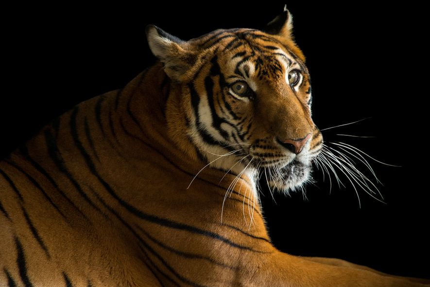 This critically endangered South China tiger lives at the Suzhou Zoo in China. This is a ...