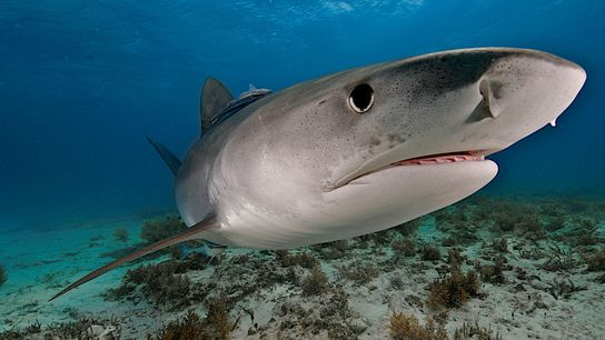 A tiger shark was most likely responsible for Dylan McWilliams' recent bite in Hawaii. But that's ...