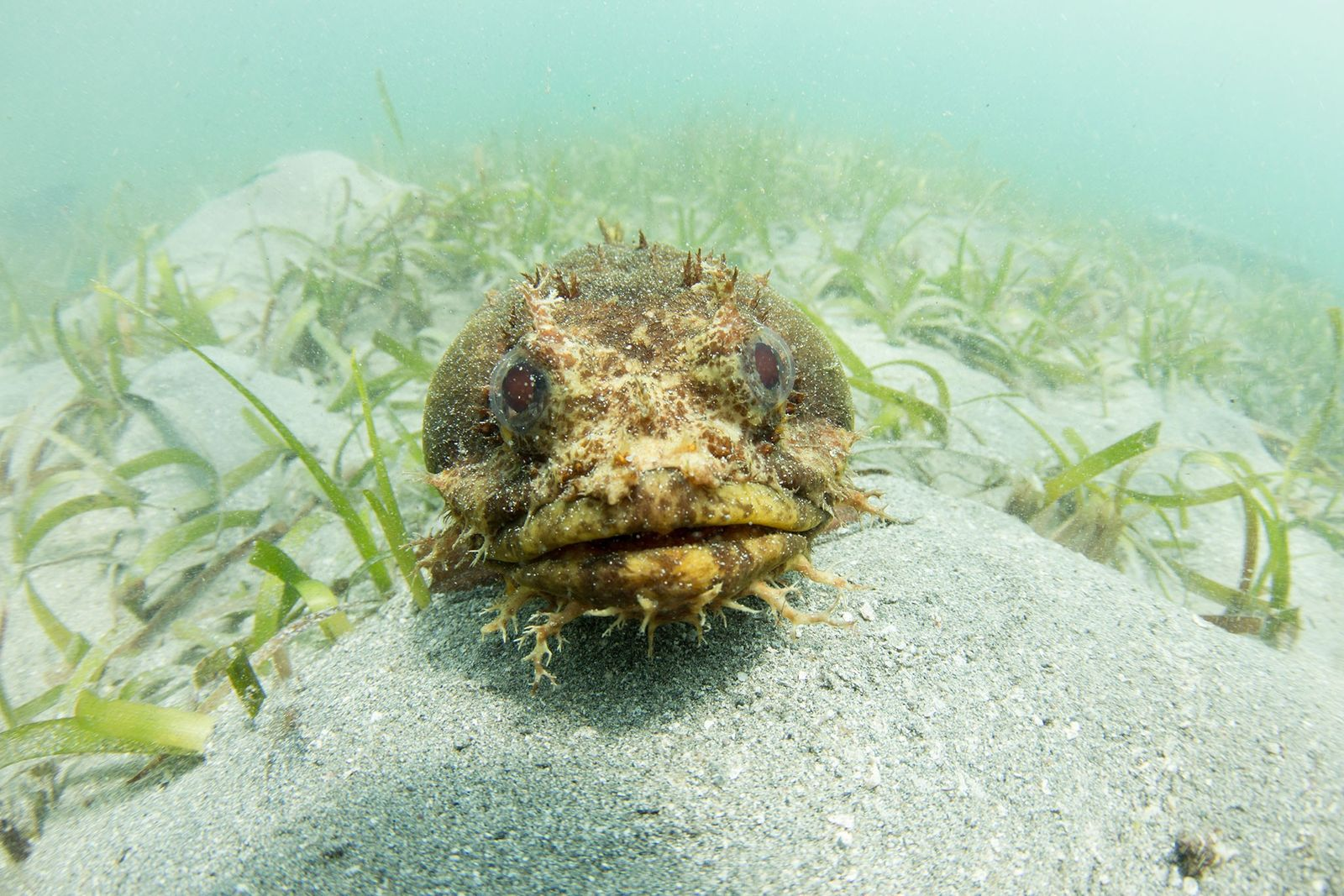 A Bocon toadfish seems to pose for the camera.