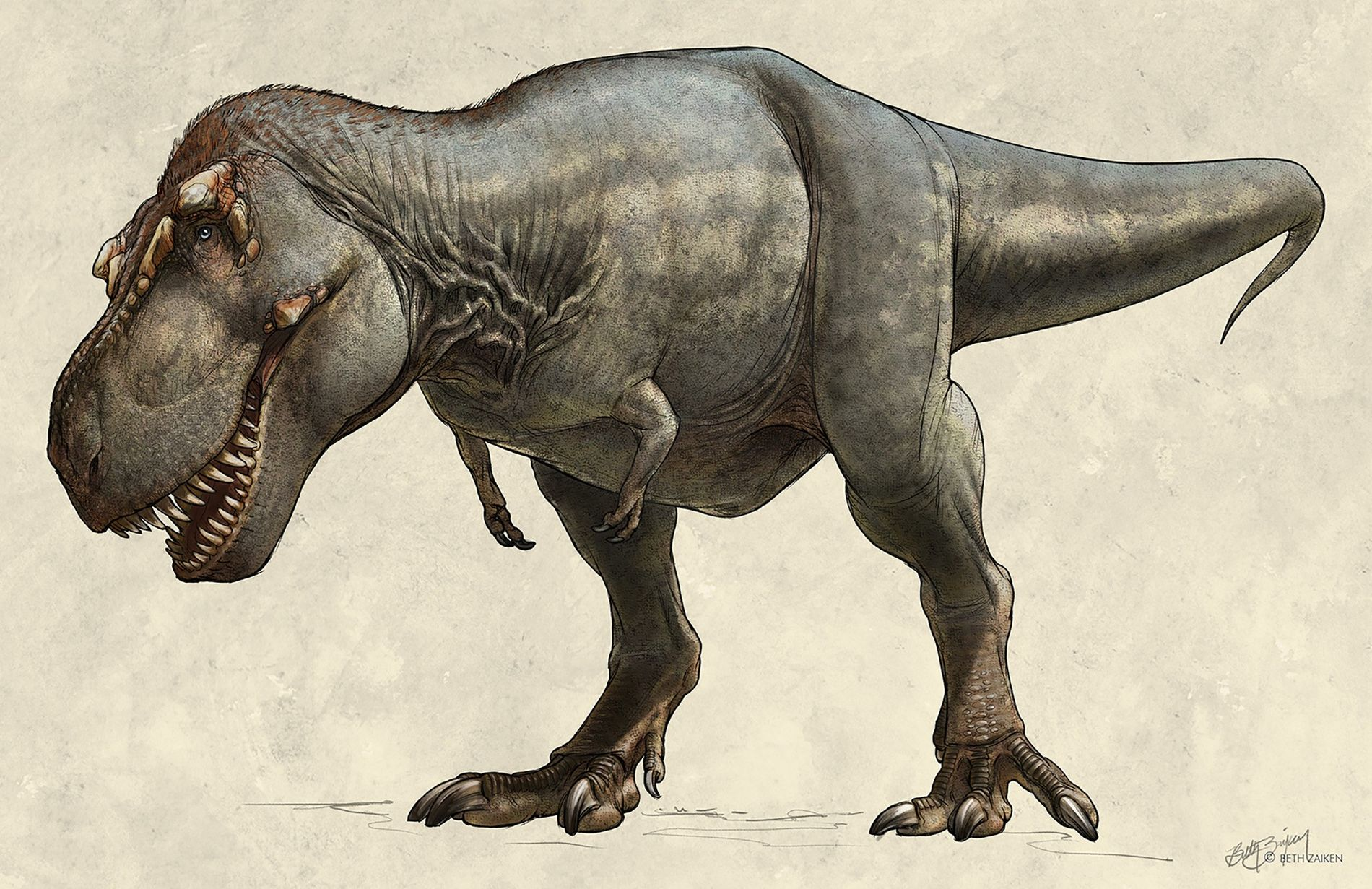 Discovered in 1991, theTyrannosaurus rex specimen known as Scotty weighed an estimated 19,500 pounds in life—making ...