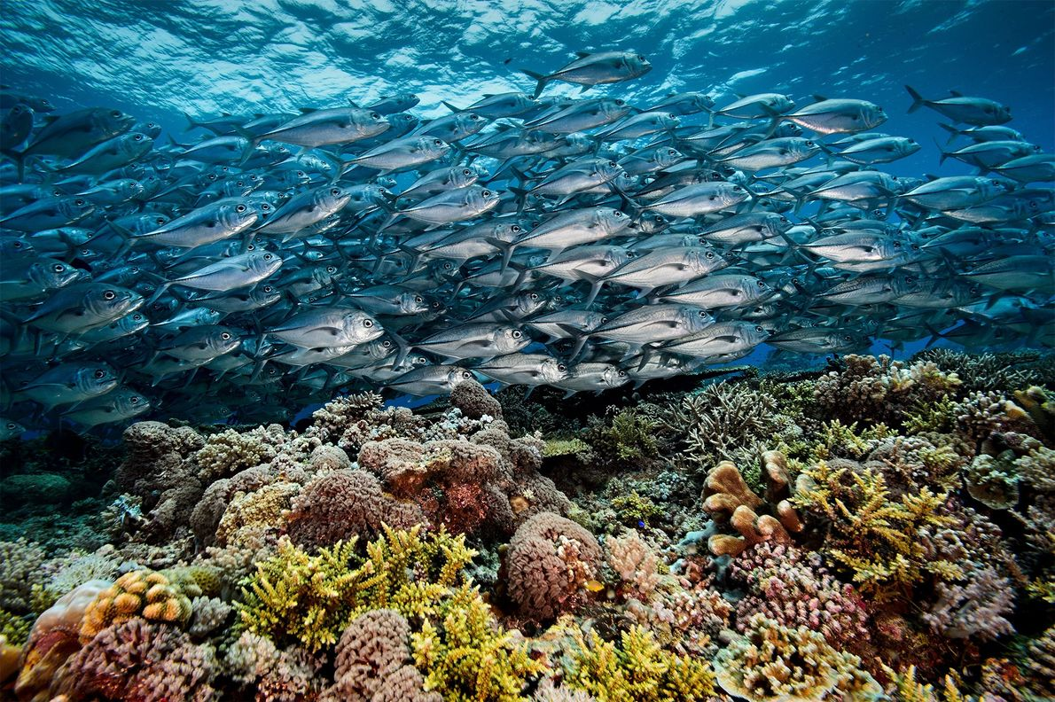 A school of jacks flow like a silver river over a meadow of coral on Tubbataha ...