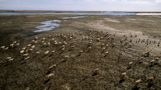 As melting permafrost releases mercury, some will make it into the food chain—and into animals such ...