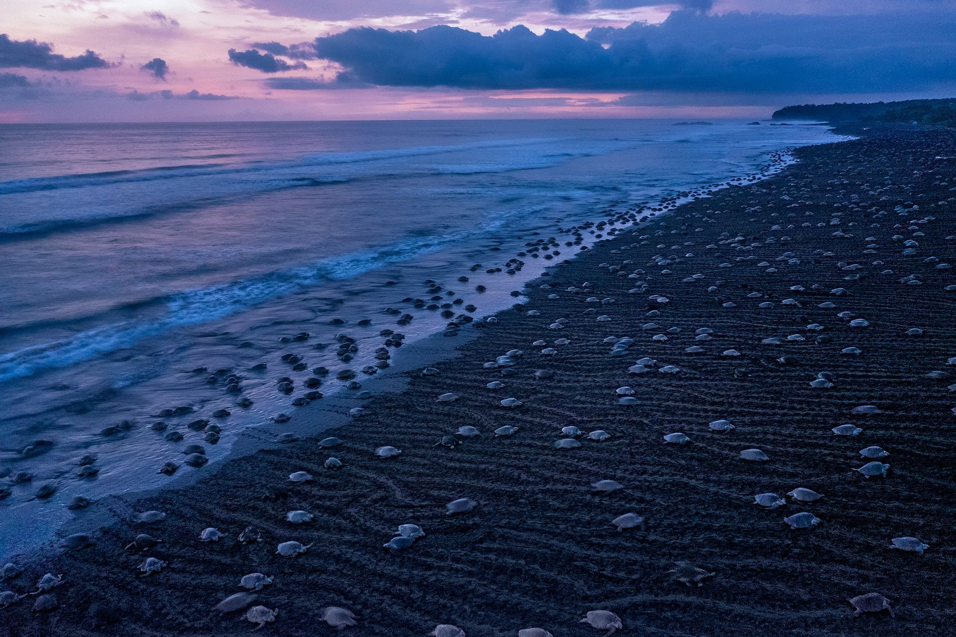 Once or twice a month during Costa Rica's rainy season, female olive ridley sea turtles come ...