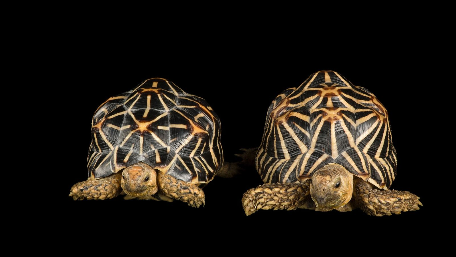 More than a thousand Indian star tortoises, a species with strict trade limitations under international law, ...