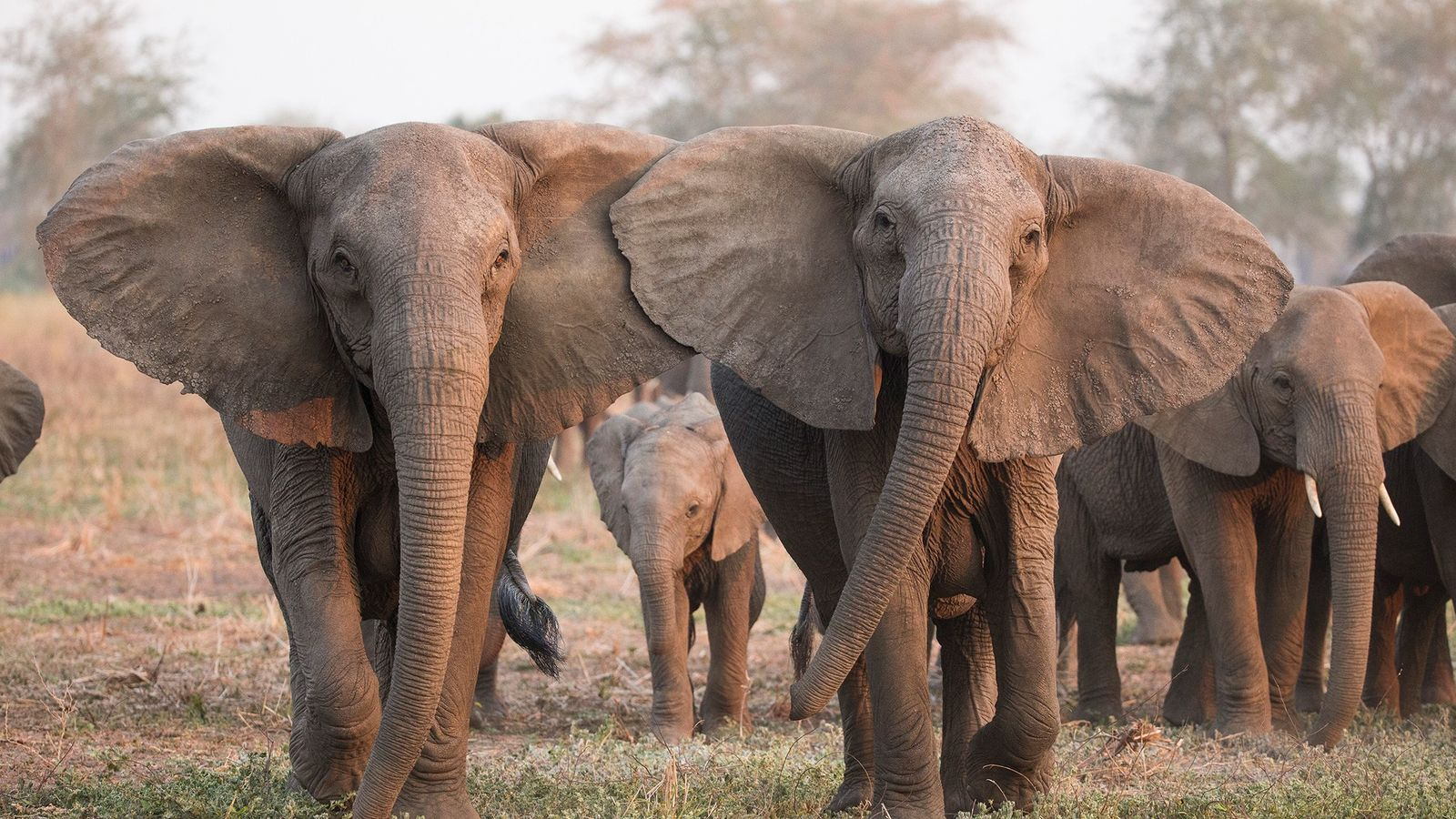 Elephants Are Evolving To Lose Their Tusks Under Poaching