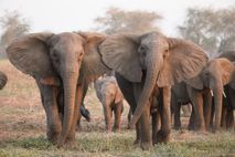 Elephants with a rare 'tuskless' genetic trait had a better chance of surviving Mozambique's long civil ...