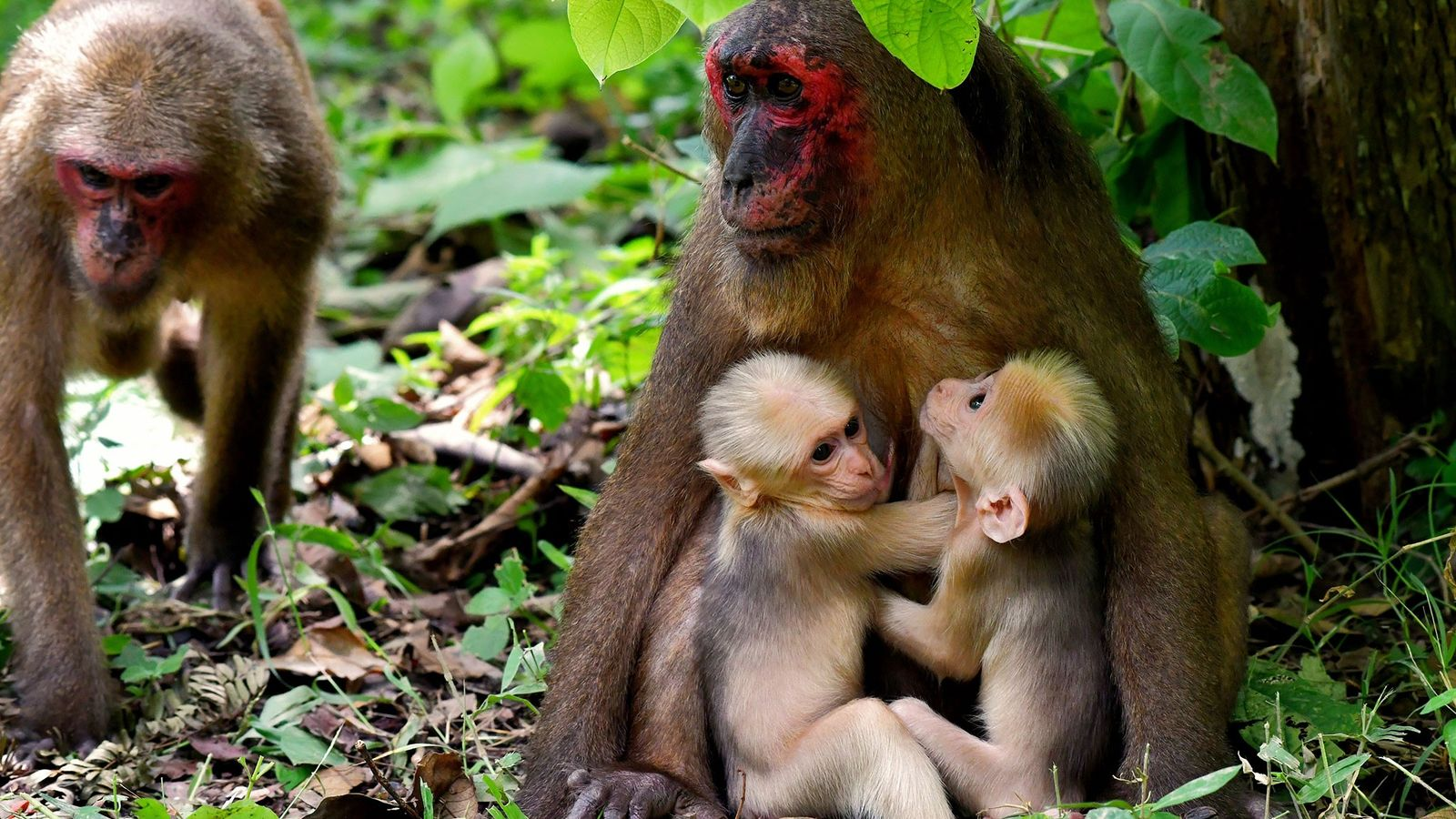 The mother stump-tailed macaque, known as TNG-F19, holds her twins while another member of the group ...