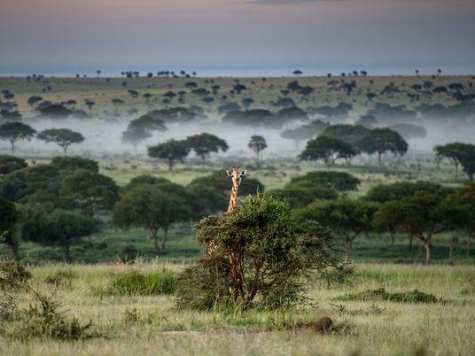 Pandemic-induced poaching surges in Uganda