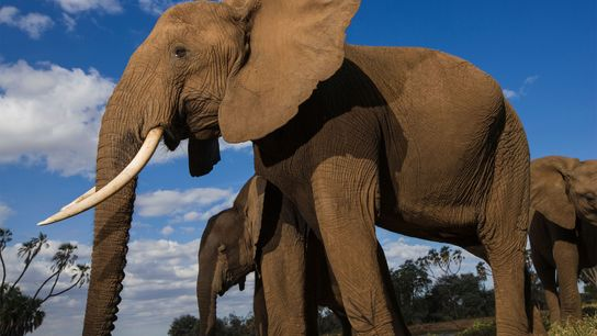African elephants face a serious population decline because of poaching for their ivory.