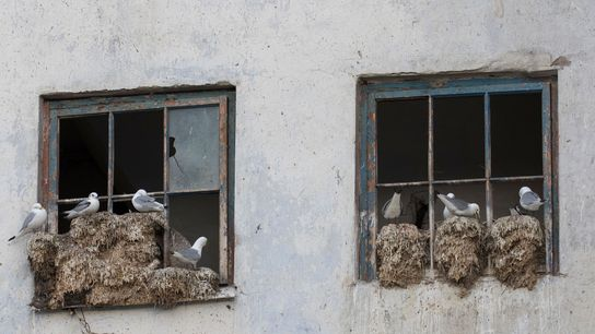 Black-legged kittiwakes set up house in a Norwegian town. A combination of factors is causing the ...