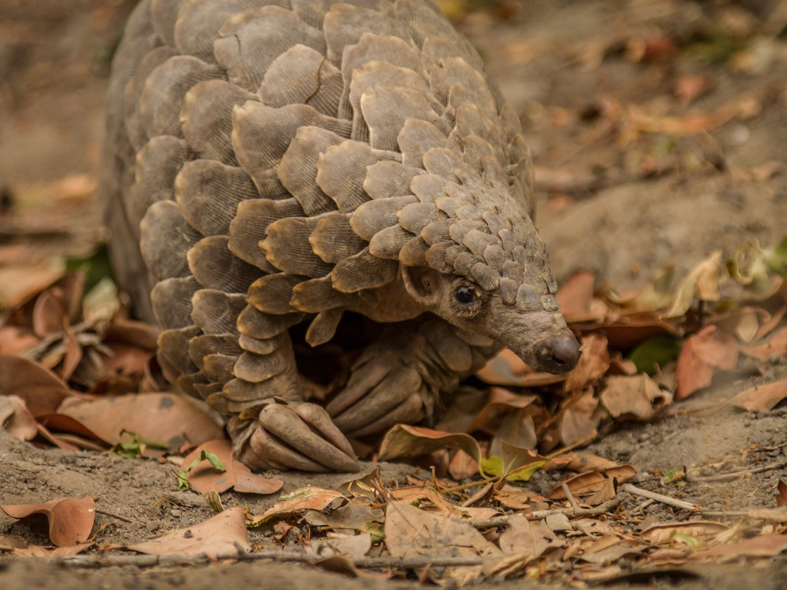 This Cape pangolin was rescued from poachers in Mozambique and released back into the wild. Conservationists ...