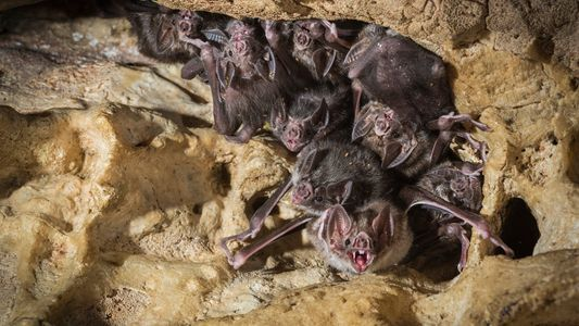 How vampire bat friendship is surprisingly like our own