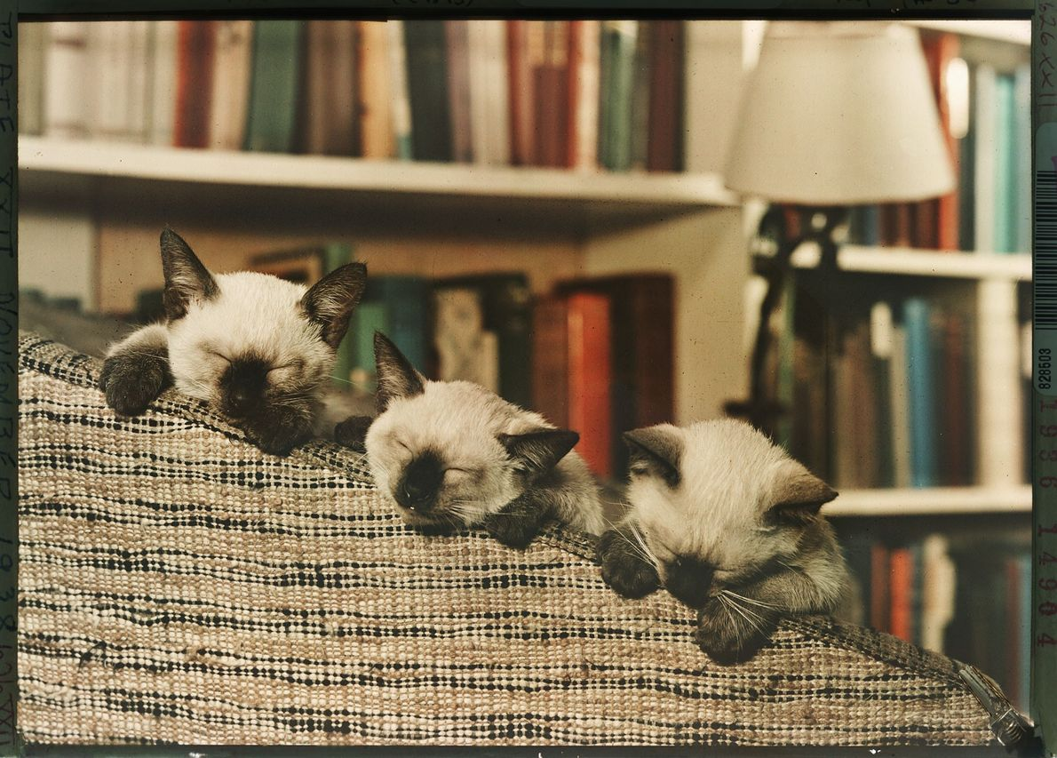 A trio of Siamese kittens sleep on a sofa in Washington, D.C.