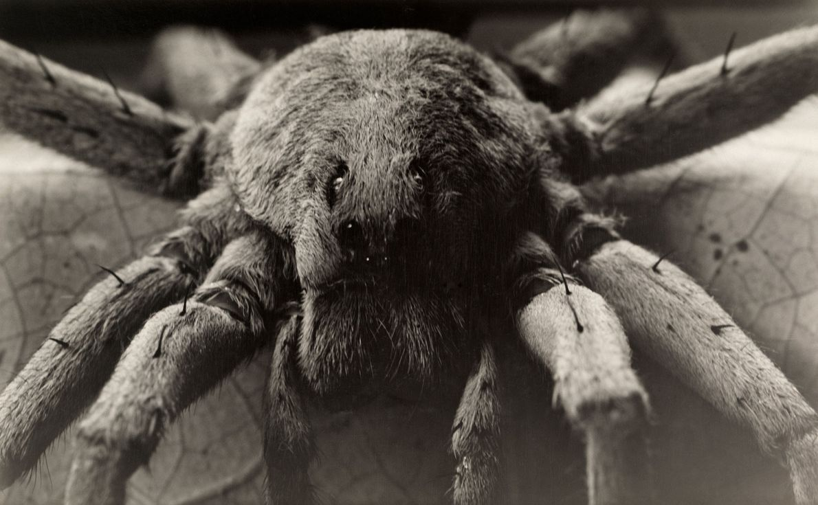 Among the largest of the wolf spiders, Carolina wolf spiders come out at night to hunt ...