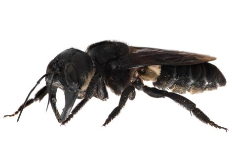 World's largest bee, once presumed extinct, filmed alive in the wild