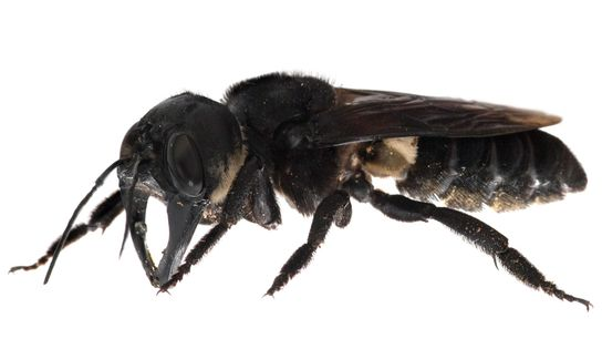 Wallace's giant bee (Megachile pluto) has a wingspan of 2.5 inches and large jaws, almost like ...