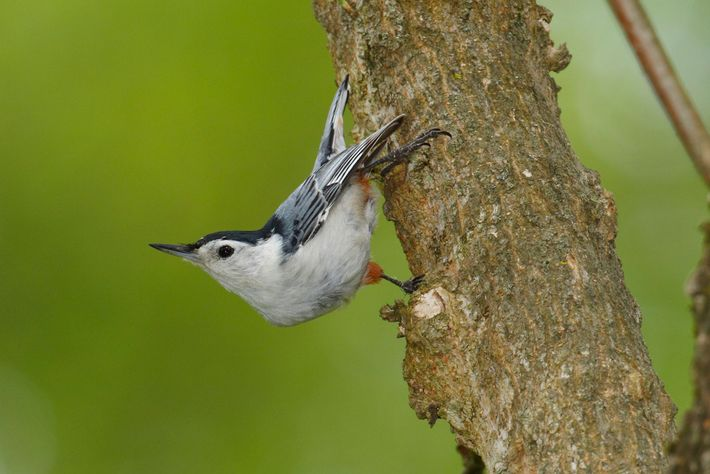 A white-breasted nuthatch creeps down a tree.